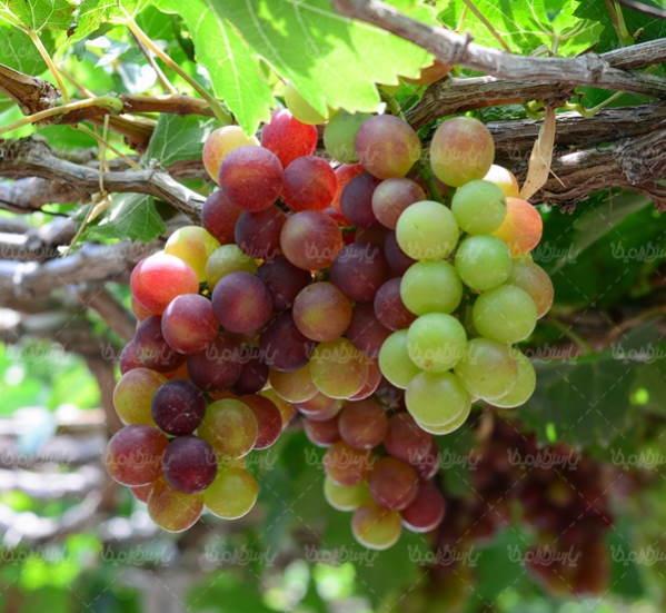 تعبیر خواب انگور و خوردن انگور - تعبیر باغ انگور سبز در خواب