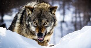 تعبیر خواب گرگ و صدای زوزه گرگ - تعبیر حمله گرگ سیاه در خواب