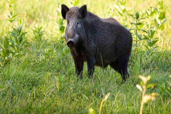 تعبیر خواب خوک و حمله خوک وحشی و خوردن گوشت خوک