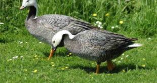 تعبیر خواب غاز و اردک و شکار غاز و جوجه اردک و کشتن غاز و اردک