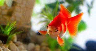 تعبیر خواب ماهی قرمز و تنگ ماهی و ماهی سفره هفت سین