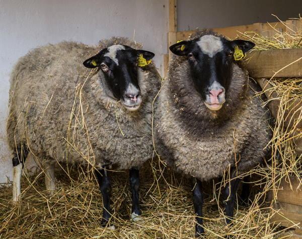 تعبیر خواب طویله گوسفندان و طویله پر از گاو و گوسفند در خواب