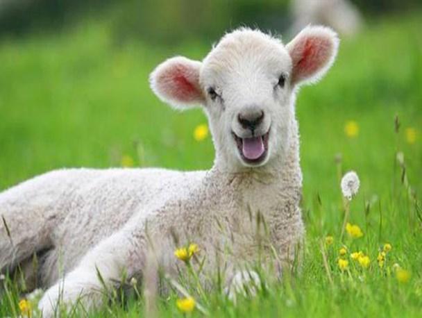 تعبیر خواب بره و شیر دادن به بره و زایمان بره و خوردن گوشت بره